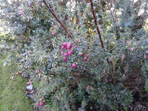 Pernettya berries