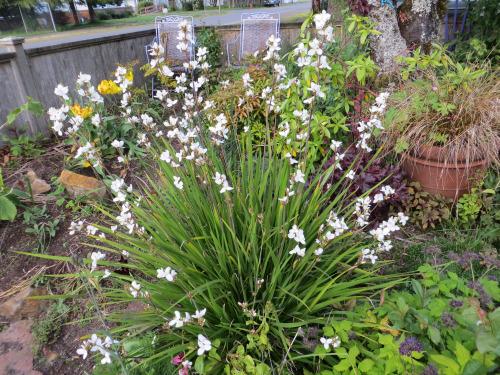 Libertia grandiflora in my garden, 5-14-13