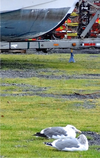 seagulls hunkered down