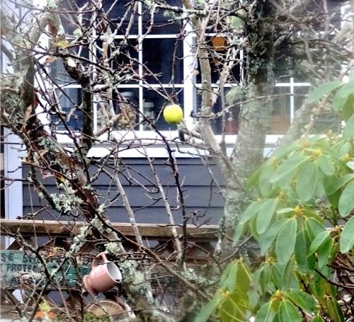The last apple on our apple tree.