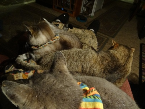Mary and her two sons, Smokey and Frosty, enjoying staycation on my lap.