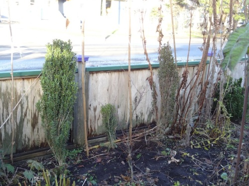 I'm sad to see the Ilex 'Sky Pencil' on the right looking so distressed.