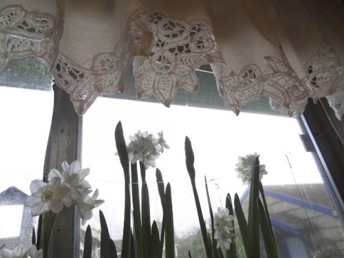 paper whites in kitchen window