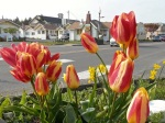 3-31, Tulip 'Florette'