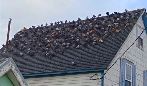 Glad our local pigeon flock seems to only number about ten!