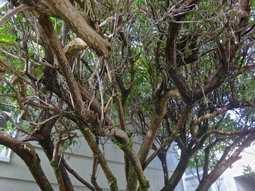 dead twigs in the arbutus (Allan's photo)