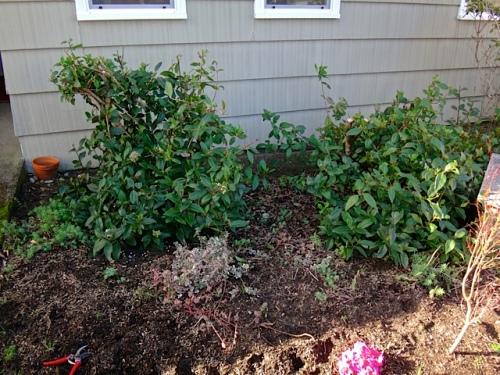 before: big stumps on pruned viburnum