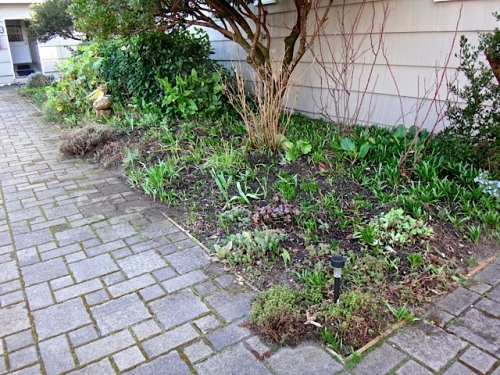 We took out a barberry that was in the shade and in the way of pruning the arbutus (Allan's photo)