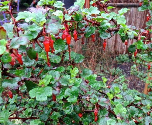 Ribes speciosum (Allan's photo)