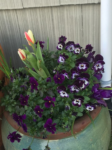 Violas came through the winter with vigor.