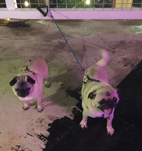 I had to go out onto the balcony and commune with these two darling local pugs (Stella and Toby, I think.