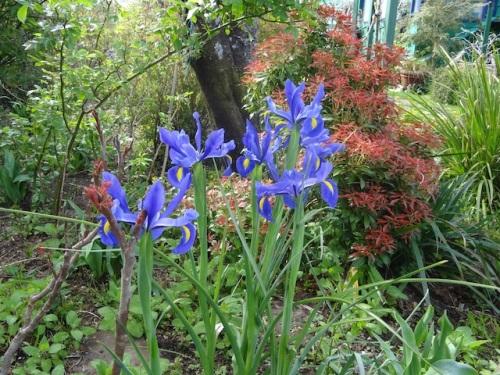 Dutch iris.JPG