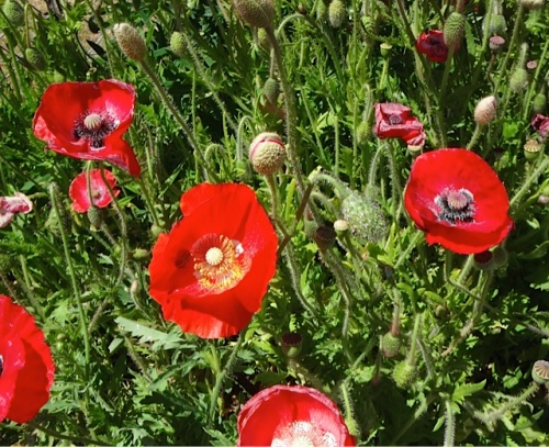 poppies, Allan's photo