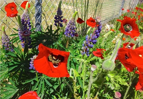 poppies and lupines, Allan's photo
