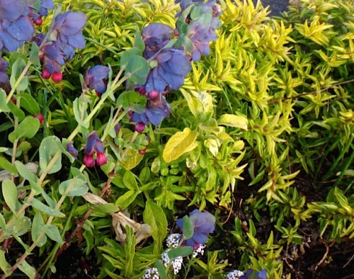 Cerinthe major purpurascens and golden marjoram