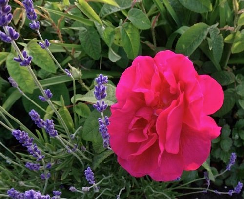 a rose in the last planter to be watered; one of the planters with lots of shrubby plants from volunteer days, no room for cosmos or trailies!