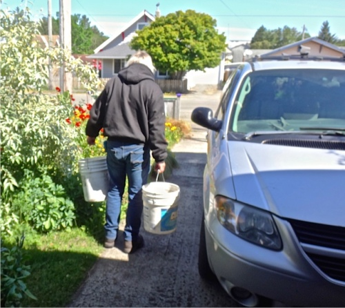 at home:  Allan loading the trailer with buckets of water for burbling potted plants before planting