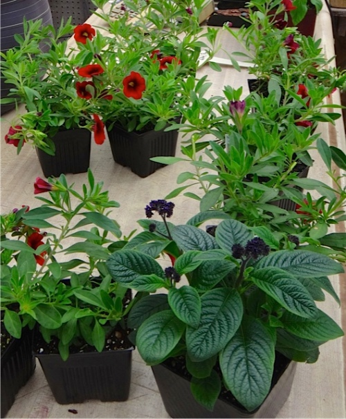 red calibachroa for the Red Barn planters