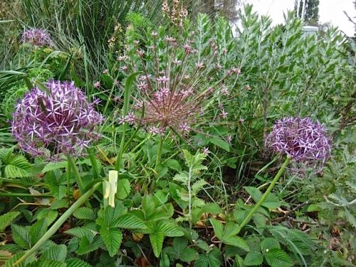 Allium schubertii (center0 and albopilosum (Allan's photo)
