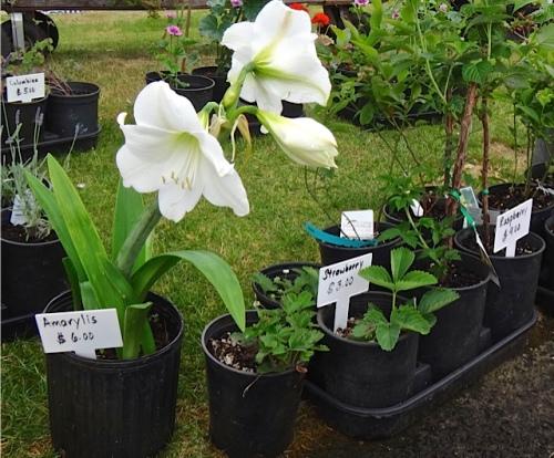 more plants for sale (Allan's photo)
