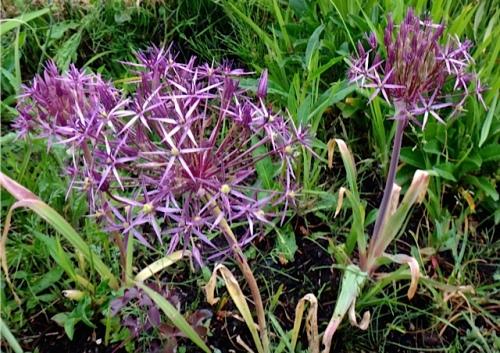 Allium albopilosum (Allan's photo)