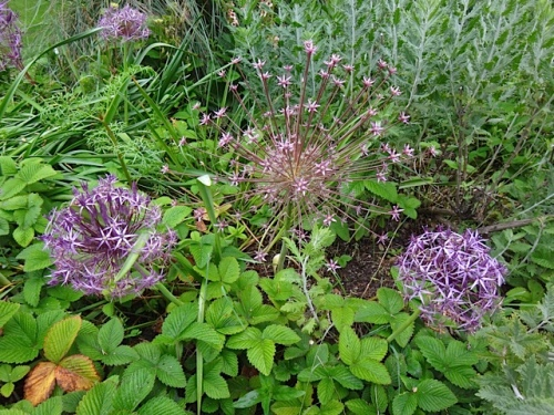 Allium schubertii (center) and albopilosum