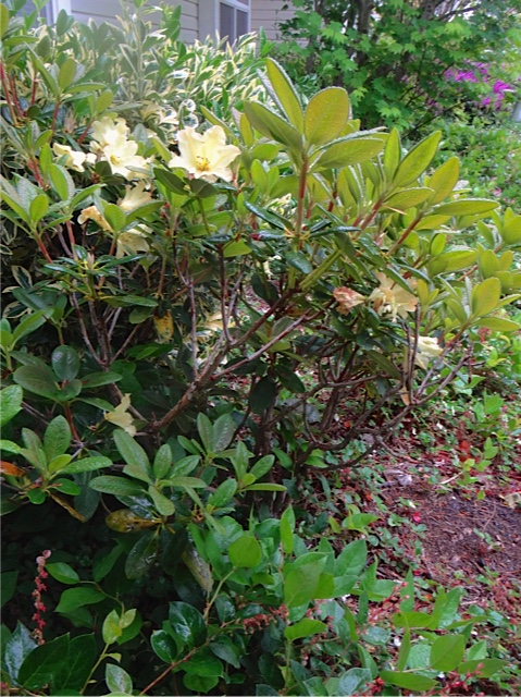 my mom's rhodo, infested with salal