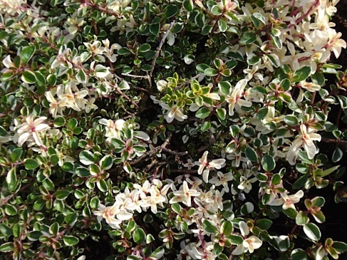 variegated thyme (Allan's photo)