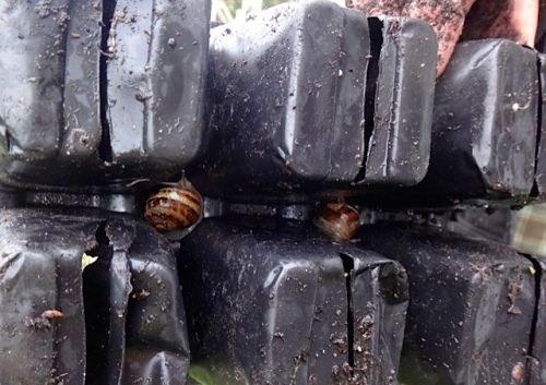 Snails love to hitch a ride on the bottom of the six packs of plants.