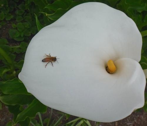 calla lily (Allan's photo)