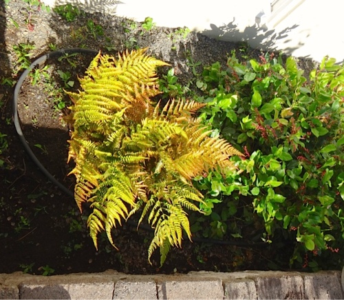 a fern and the dreaded salal