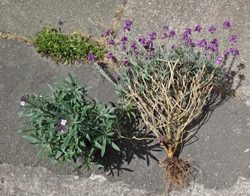 the new and the old (Allan's photo); Erysimum 'Bowles Mauve' gets woody after a couple of years.