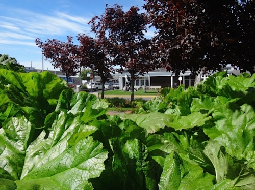 Fifth Street Park, SE side, Darmera peltata and Gunnera (Allan's photo)