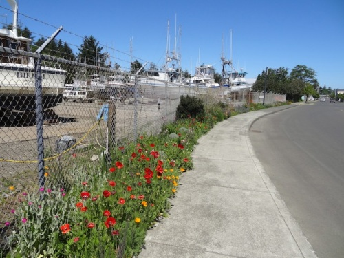boatyard poppies