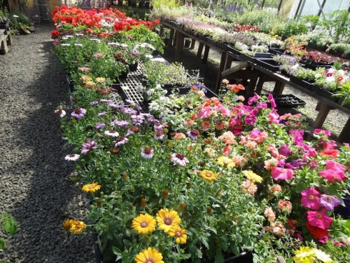 annuals in the front greenhouse