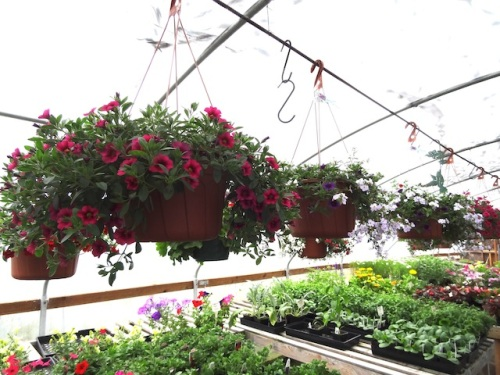 These baskets will be completely covered with flowers soon.