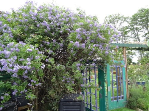 Solanum crispum 'Glasnevin' (blue potato vine)