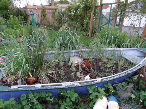 cosmos in the garden boat