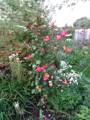 Rose 'Radway Sunrise'