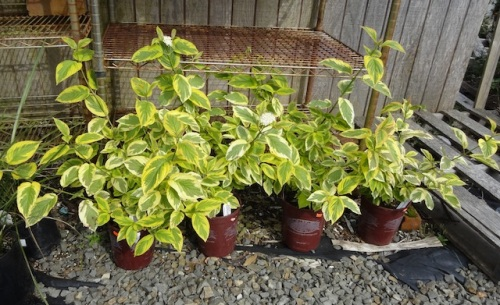 Hard to believe no one has snatched up these Cornus 'Hedgerows Gold'. I think Fifth Street Park needs one.