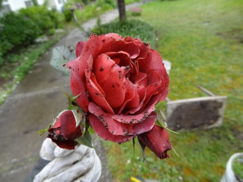 "mom's ""copper rose"", with soil on the flower"