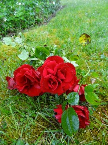 """her """"red velvet"""" rose"""