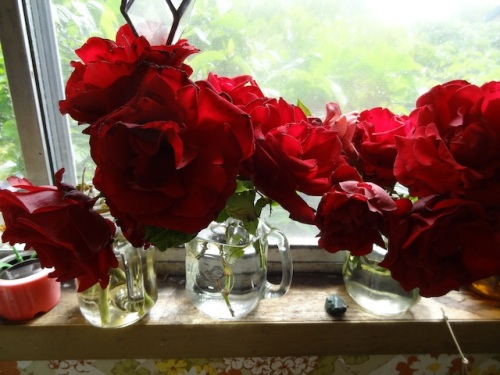 "Mom's ""Red Velvet"" rose in the window this morning (her name for it, don't know the actual name)."