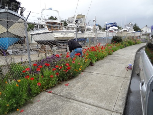 Allan planting two Helenium at the boatyard garden.