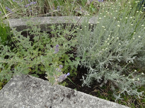 one side: nice little golden thyme tucked in on the edge under the catmint