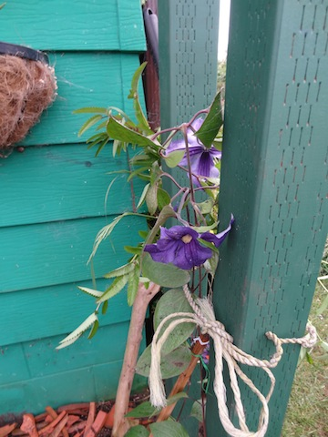 Clematis durandii on new arbour (where wire mesh will be inserted for it to climb on).