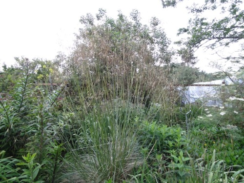 Stipa gigantea in the back garden