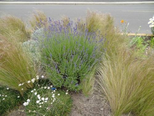 lavender and Nassella tenuissima