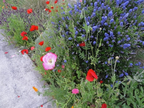 twilight poppies and ceanothus