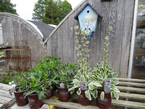 Eryngium 'Sapphire Blue' and 'Jade Frost' still available
